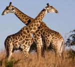 Lo sapevate che la giraffa…