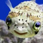 Lo sapevate che il pesce palla …