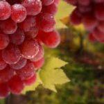 Una pelle sempre giovane con l' uva rossa