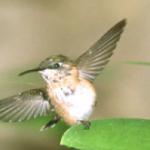 Ecco il colibrì: l'uccellino più piccolo del mondo!