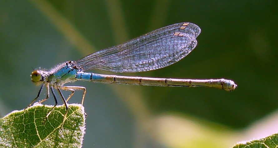 Elicottero E Libellula : Come vola la libellula oltretutto