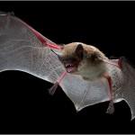 Il pipistrello pescatore e le sue abilità di cacciatore