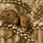 Sai come il topolino delle risaie fa il suo nido?
