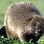 Alla scoperta del castoro…