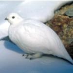 La pernice bianca e il suo piumaggio… che cambia!