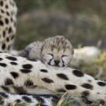 Il ghepardo: ecco un'affascinante predatore…