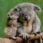 Parliamo di un simpatico animale… il koala!