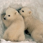 Ecco a voi l'orso bianco!