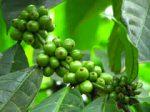 Caffè verde: origini e proprietà