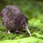 Il kiwi? Non è solamente un frutto!