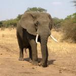 Ecco un esemplare gigantesco e pesante… l' Elefante Africano!