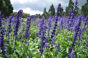 lavender-919000_640