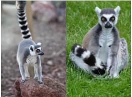 lemure 1
