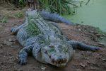 Alla scoperta del coccodrillo