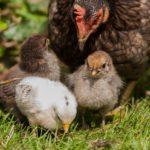 Cova naturale e cova artificiale: alcuni consigli per avere tanti pulcini nel pollaio!