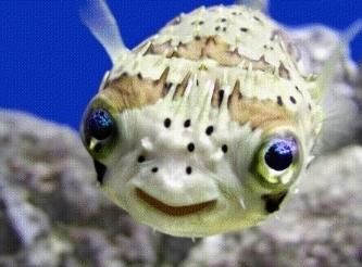 pesce palla 1