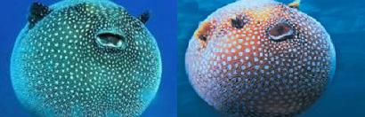 pesce palla 2