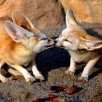 Come sono le orecchie del Fennec?