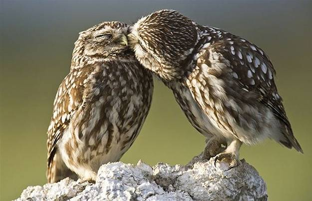 gufi amore
