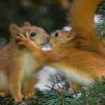 Lo sapevate che lo scoiattolo pianta gli alberi?