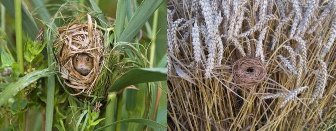 topolino delle risaie 2