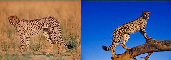 ghepardo 1