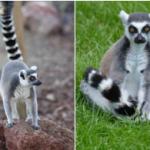 Avete mai sentito parlare del Lemure? Ecco alcune curiosità!