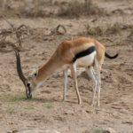 A che velocità può arrivare la corsa della gazzella?