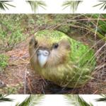 Un pappagallo che non vola? Ecco il kakapò!