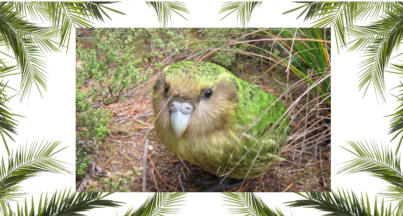 kakapò