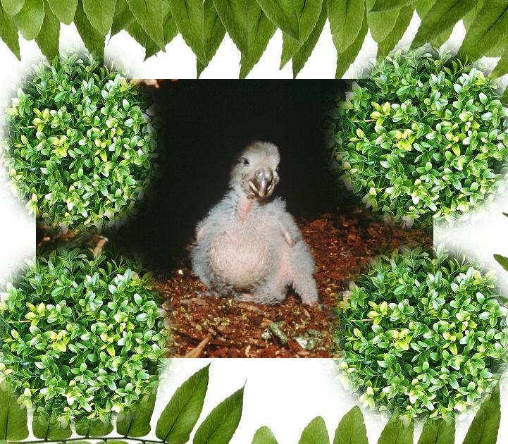 pulcino kakapò