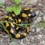 La salamandra, un anfibio tutto da scoprire!