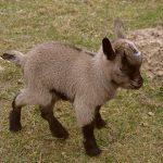 Oggi è arrivato il momento di parlare della capretta tibetana!