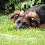 Il pastore tedesco: 9 peculiarità sul cane più instancabile e leale al mondo