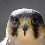 Conoscete il falco pellegrino?