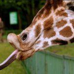 21 giugno: Giornata Mondiale delle giraffe