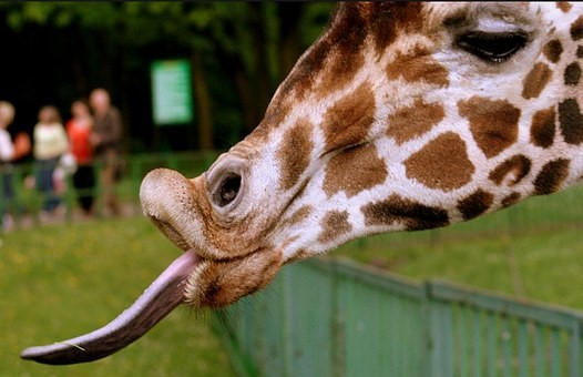 giornata mondiale delle giraffe