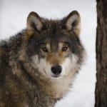 L'affascinante lupo grigio